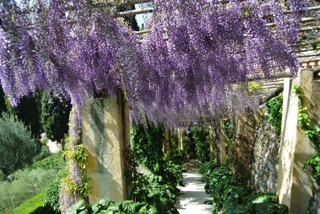 Wisteria collection at Villa della Pergola Gardens in Alassio
