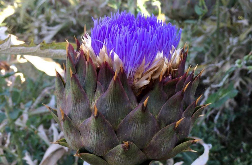 artichoks-flower