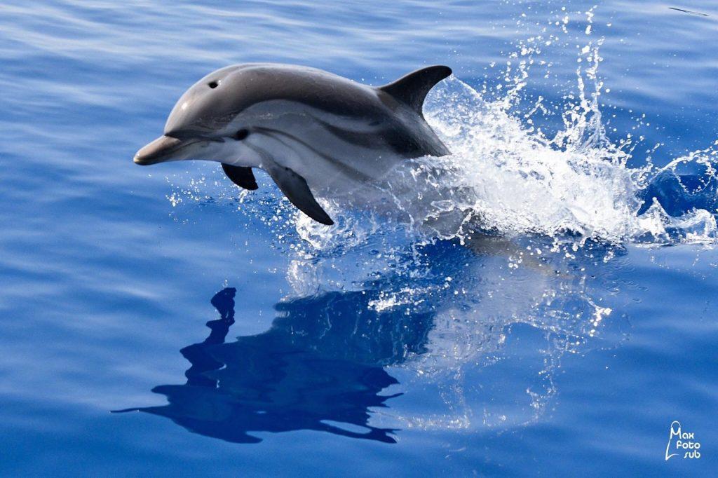 delfino che nuota in mare nel santiario pelagos