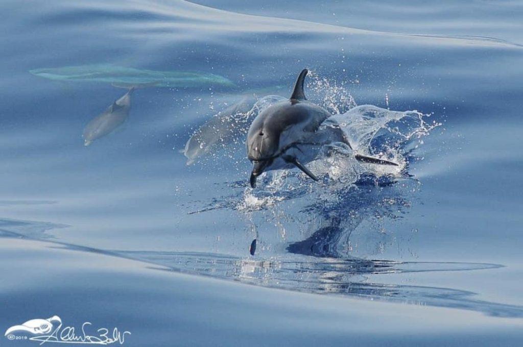 delfini che nuotano nel mar ligure